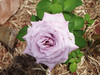 19/366 Purple rose (JessicaBelotto) Tags: flower rose foto purple ar no flor rosa days honey roxa fotografia terra projeto dias livre ano rarity fotografando fotografico 366 raridade 366daysofhoney 366diasnoano