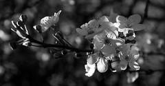Cherry Blossom B+W (Alan-Taylor) Tags: york blackandwhite bw flower canon spring blossom cherryblossom sigma1770