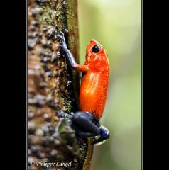 Blue Jeans Frog (Lucie et Philippe) Tags: voyage trip travel america central nicaragua centrale amrique riosanjuan riopapaturro losguatuzos
