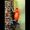 Blue Jeans Frog (Lucie et Philippe) Tags: voyage trip travel america central nicaragua centrale amérique riosanjuan riopapaturro losguatuzos