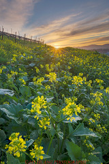 Spring Sunrise (Jaykhuang) Tags: california backlight sunrise bay winery area eastbay livermore wildflower mustardfield wineyard springtime sunstar earlyspringgreen jayhuangphotography