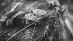 B&W-00659 (alessandro.polla) Tags: bridge blackandwhite bw italy mountains ice nature water river landscape woods iced woodbridge tentino