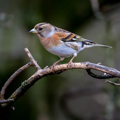 Brambling - Calke (irelaia) Tags: wild bird abbey calke calkeabbey brambling