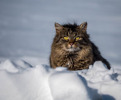 Cool Kitty (montrealmaggie) Tags: winter snow cold cat outdoors