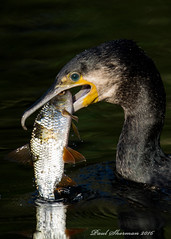 Been Fishing.... (muppet1970) Tags: fish nature water feeding wildlife cormorant roach caught juvenile ipswich christchurchpark