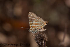IMG_9593 (Chaitanya Shukla) Tags: india macro butterfly maharashtra in kokan guhagar commonsilverline patpanhale shringartali
