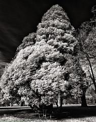 Dying Tree (mjardeen) Tags: park plant tree uw washington sony w 28mm adapter wa f2 tacoma wright fe dying 21mm a7ii niksilverefex a7m2