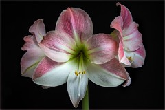 PINK AMARYLLIS (Des Hawley. Over 1.9 million views !!) Tags: theacademy over3000views platinumpeaceaward thegalaxyhalloffame thegalaxystarshof