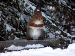 Squirrel has big nuts (Matias Boreananaz) Tags: winter snow nature animal squirrel nuts orava talvi luonto kurre