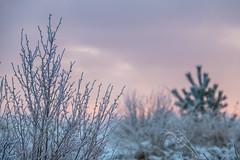 Frost (Infomastern) Tags: winter cold vinter frost rime rimfrost kallt skateholm