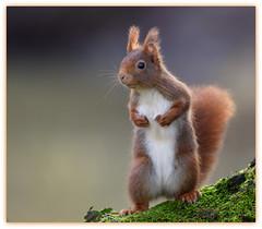 MOI!!! c'est pas moi qui est volé la noisette ... (guiguid45) Tags: nature nikon squirrel animaux forêt eichhörnchen écureuil sauvage loiret mammifères 500mmf4 superfotos d810 spitzenfotos