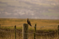 Short eared owl (mlomax1) Tags: bird nature canon wildlife hunting owl marsh wirral riverdee shortearedowl eos600d
