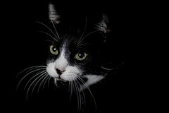 In the Dark (Tria-media_Sven) Tags: cat felix katze weis