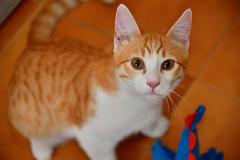 Gato Jinks  (18) x (adopcionesfelinasvalencia) Tags: gato jinks