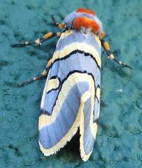 Moth - Diaphone lampra (John Steedman) Tags: africa tanzania moth ngorongoro crater afrika afrique tansania 非洲 tanzanie アフリカ 坦桑尼亚 африка أفريقيا تنزانيا nationalmothweek diaphonelampra