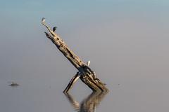 If So Inclined (gseloff) Tags: bird texas wildlife pasadena weatheredwood snowyegret littleblueheron mudlake armandbayou kayakphotography gseloff