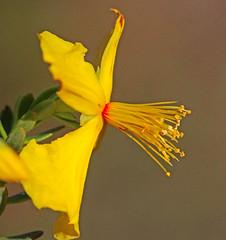CAC036795a (jerryoldenettel) Tags: flower sumatra fl wildflower hypericum hypericaceae wort 2016 stjohnswort clusiaceae rosids malpighiales libertyco hypericummicrosepalum flatwoodsstjohnswort