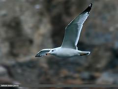 Caspian Gull (Larus cachinnans) (gilgit2) Tags: pakistan birds fauna canon geotagged wings wildlife feathers sigma tags location species category avifauna laruscachinnans borit gojal gilgitbaltistan sigma150500mmf563apodgoshsm imranshah canoneos70d caspiangulllaruscachinnans gilgit2