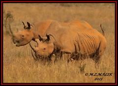 TRIO OF BLACK RHINOCEROS (Diceros bicornis)......NAIROBI NAT.PARK......SEPT,2015 (M Z Malik) Tags: africa nikon kenya wildlife ngc safari npc nairobinatpark d3x exoticafricanwildlife 200400mm14afs