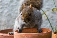 Grey squirrel (Shane Jones) Tags: animal nikon squirrel wildlife greysquirrel tc14eii 200400vr d7200