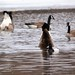 Canada Geese and Greater Scaup