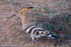 Hoopoe (asheshr) Tags: bird birds nikon orissa hoopoe beautifulbird cuttack birdsofindia odisha birdsofodisha birdsoforissa nikond7200