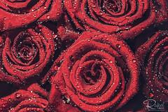 Playing with roses (rakel.gudmunds) Tags: copyright©rakel colours flowers nature flower rautt red vatn colorful blóm dropar dropi wet indoor water rauður rose