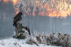 Frosty morning (lookashG) Tags: morning las trees winter sun snow tree bird nature birds animal animals fauna forest sunrise dawn hoarfrost wildlife natura aves rime wintertime zima animalia buteobuteo sunup daybreak nieg poranek rano soce ptak whitefrost ranek ptaki commonbuzzard drzewa wschd zwierzta szron breakofday groundfrost myszow wschdsoca wit portretrodowiskowy treecrowns przymrozek 70400mmf456gssm lookashggmailcom portraitofenvironmental ukaszgwidziel zaranie sonyilca77m2