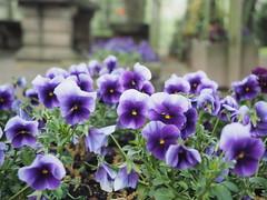 mozirski-gaj_31 (carlo) Tags: flowers olympus slovenia slovenija fiore botanicalgarden omd em1 ortobotanico giardinobotanico mozirje mozirskigaj