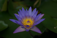 DSC04359 (oliveplum) Tags: blue flower pond waterlily sony marinabay marinabaysands leica60f28macro