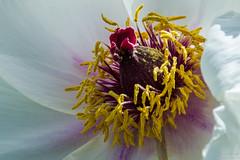 Moutan Peonie (_lorenzo_1989) Tags: flowers italy macro love colors spring nikon sunny botanico fiori viterbo peonie vitorchiano moutan d7200