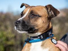 Poppy (MerlinAnimalRescue) Tags: rescue dog animal wales north bull terrier merlin staffie staffordshire sbt