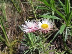 """Everlasting"" (John Steedman) Tags: africa flower kilimanjaro tanzania afrika asteraceae afrique everlasting tansania helichrysum  tanzanie"