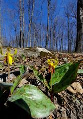 Trout Lily (Ultra WA) (cjh44) Tags: nikon dogpark wildflower 105mm ultrawideangle