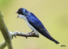 Tree Swallow Male (jt893x) Tags: male bird nikon sigma swallow songbird treeswallow tachycinetabicolor 150600mm d7200 sigma150600mmf563dgoshsms