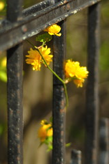 HFF (nirak68) Tags: fence de deutschland spring bush zaun lübeck strauch frühling rosaceae yamabuki kerriajaponica gefüllt ranunkelstrauch rosengewächs goldröschen 110366 japanischekerrie schleswigholsteinkreisfreiehansestadtlübeck c2016karinslinsede