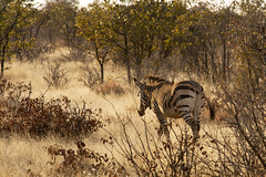 Etosha - Namibia (wietsej) Tags: landscape sony zebra namibia 70200 etosha a900 sal70200g