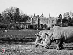 Rhino Hall monochrome (littlesarahphotography) Tags: uk building monochrome animals zoo hall horns cotswolds rhino blackrhino cotswoldswildlifepark