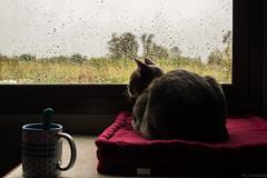 Nole, lluvia (ojoartificial) Tags: naturaleza contraluz ventana lluvia nostalgia felinos nole natgeo