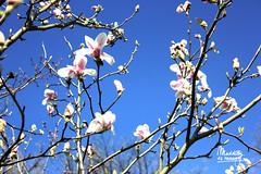 Spring is here (Maddily M.G.) Tags: pink sun flower tree nature sunshine rose garden outside soleil bleu ciel magnolia printemps
