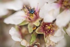 0515-2016-BR (elfer) Tags: madrid espaa flores insectos almendros rivasvaciamadrid parqueregionaldelsureste
