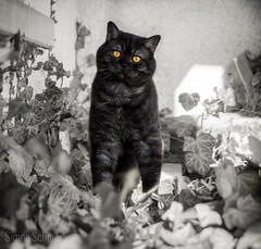 Yoda (Blochmntig) Tags: cat feline smoke katze gatto britishshorthair blacksmoke cateye catposing bkh katzenportrait britischkurzhaar catmoments catinpose