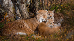 Lynx family quality time (nemi1968) Tags: autumn portrait leaves animal animals closeup sisters cat canon nose leaf eyes october mother ears kittens lynx gaupe langedrag qualitytime familytime markiii catfamily eurasianlynx lynxcub lynxcubs ef100400mmf4556lisusm lynxkittens canon5dmarkiii lynxfamily