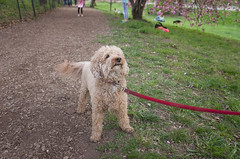 Bart, Poodle (Charley Lhasa) Tags: nyc newyorkcity flowers ny newyork dogs pattern path iso400 centralpark manhattan bart noflash trail poodle cherryblossoms blooms uncropped cherrytrees lightroom nycparks 3stars kwanzan aperturepriority kwanzancherry dng flagged grii adobelightroom 0ev 183mm ricohgrii dogsmet secatf32 28mm35mmequivalent httpstmblrcozpjiby25ibo5l adobelightroomcc20155 lightroomcc20155 tumblr160428 r005966 taken160424184308 uploaded160428145149