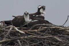 Osprey (turtlehawk) Tags: nature wildlife bethany delaware osprey bethanybeach 2016 bluecoast sussexcounty 040106