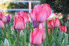 Laleler (Talip Çetin) Tags: turkey türkiye tulip ankara tulipan lale laleler sincan