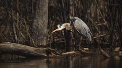 1C4A8399 copy (Photography by Ramin) Tags: blue ontario canada bird heron ottawa wildbirds