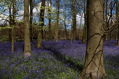 King's Wood, Challock (NovemberAlex) Tags: trees nature bluebells clouds kent challock