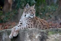 Lynx boreal (Passion Animaux & Photos) Tags: france zoo lynx boreal mulhouse