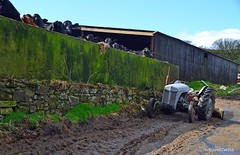 (Zak355) Tags: old tractor vintage grey scotland cattle cows scottish bute rothesay isleofbute masseyferguson